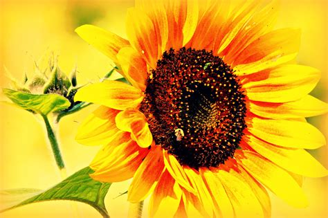 large summer flowers large summer yellow flower of sunflower close up wallpapers and images wallpapers pictures