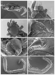 Tarsonops Ariguanabo N  Comb   Female  1  Prosoma  Lateral