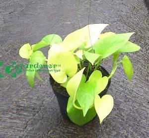 tanaman sirih belanda – GARDENER ID