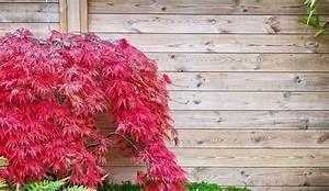 Erable Du Japon Entretien : erable du japon plantation entretien c t maison ~ Nature-et-papiers.com Idées de Décoration