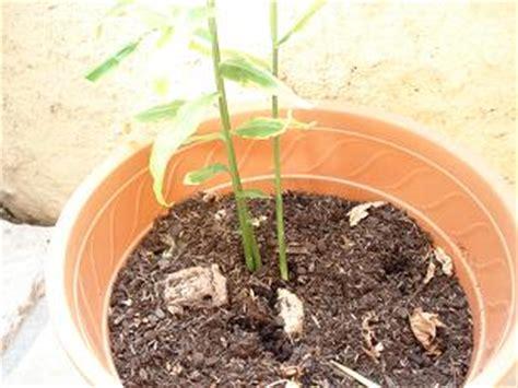 comment faire pousser du gingembre en pot