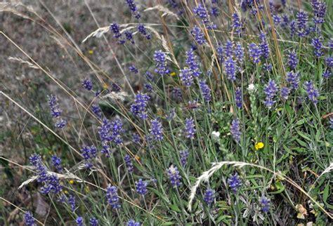 Und Lavendel by Lavendel Verwendung Wirkung Und Anbau