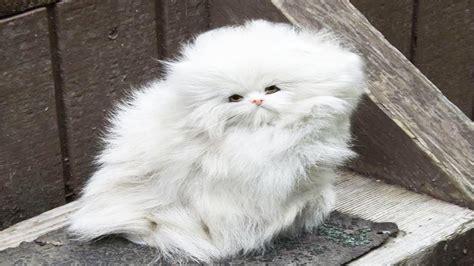expensive cat pet rare ever