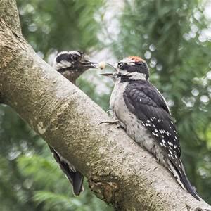 Downy Woodpecker Drama
