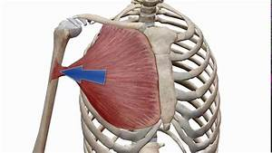 2 -pectoralis Major Muscle