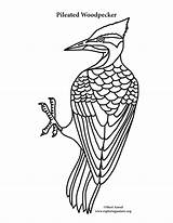Woodpecker Coloring Pileated Pages Drawing Template Downy Printable Printing Sketch Getcolorings Getdrawings sketch template