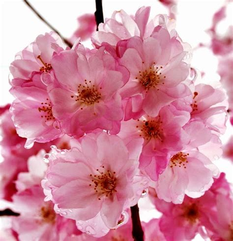 Wallpaper Bunga Sakura Cantik Wallpaperscraft