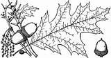 Etc Clipart Branch Oak Northern Tiff sketch template