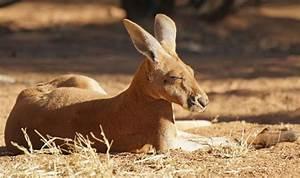Red Kangaroo Habitat  Diet  U0026 Reproduction