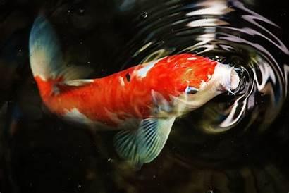 Koi Carp 4k Ultra Wallpapers Fish Itl