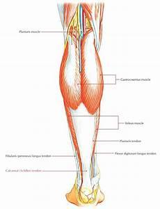Diagram  Full Human Leg Tendons Diagram