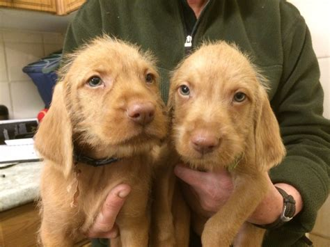 When Do Vizslas Shed Their Puppy Coat by Hungarian Wire Haired Vizsla Puppies Egham Surrey