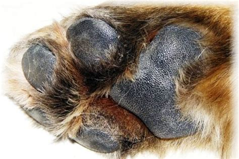 pfotenpflege hundepflege und schutz fuer hundepfoten
