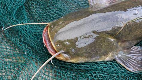 Fisch In Freiheit Meyerhausen Zwischenahner Meer Hat