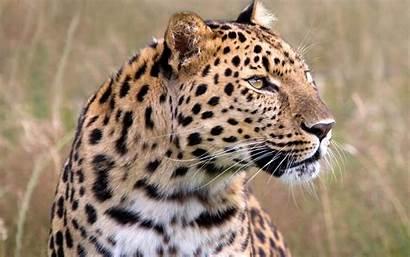 Leopard Wildlife Amur Male Wallpapers Heritage 1440
