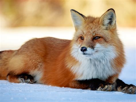wallpaper cute fox rest snow  uhd  picture image