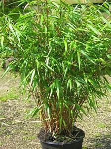 Bambus Im Winter : pflanzen als nat rlicher sichtschutz auf dem balkon sichtschutz balkon ~ Frokenaadalensverden.com Haus und Dekorationen