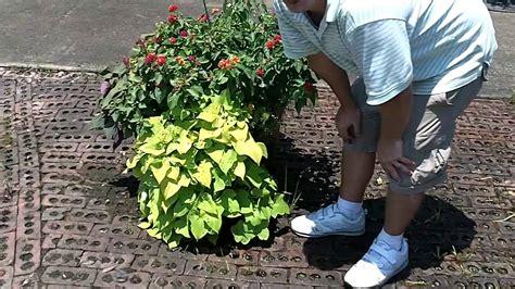 Decorative Potato Plant - ornamental sweet potato vine living mulch for