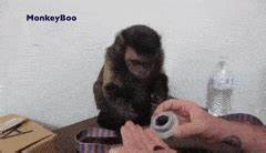 monkey eating GIFs Search | Find, Make & Share Gfycat GIFs