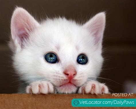 Daily Paws Picture Of The Day White Kitty Cat Daily