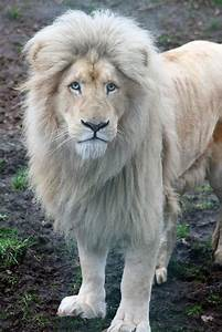 1000+ images about White Lion on Pinterest | White lions ...