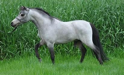 Miniature Horse Horses Stallion Charming American Ponies