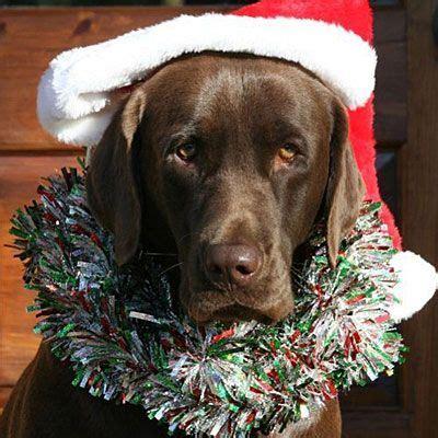 2010 halloween pet parade holiday dogs dogs chocolate labrador retriever christmas dog