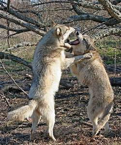 25+ best ideas about Wolves Fighting on Pinterest | Black ...
