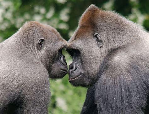 zoo paignton gorillas mirror wiltshire ray parks