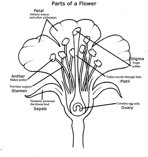 Diagram Of Flower Part by Anatomy Of A Flower On Anatomy Arts And