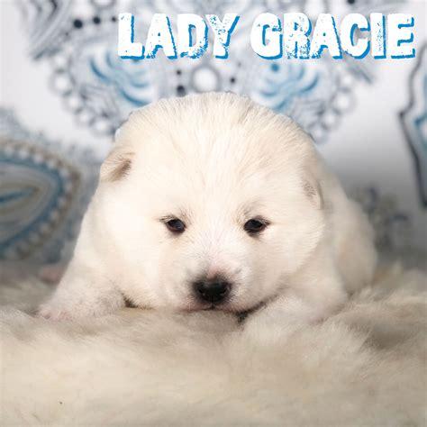 White Malamute Puppy Archives - Giant Alaskan Malamutes