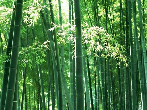 pictures of bamboo trees desktop wallpapers animals wallpapers flowers wallpapers birds wallpapers sad poetry