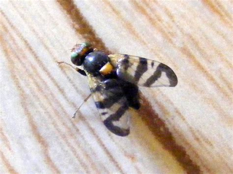 https://loirenature.blogspot.com/2009/12/common-cherry-fruit-fly-rhagoletis.html