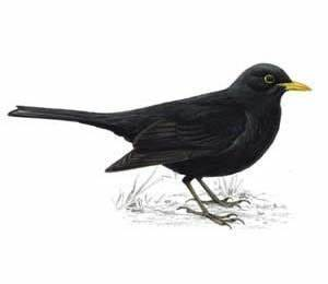 Black Bird - Best Animals