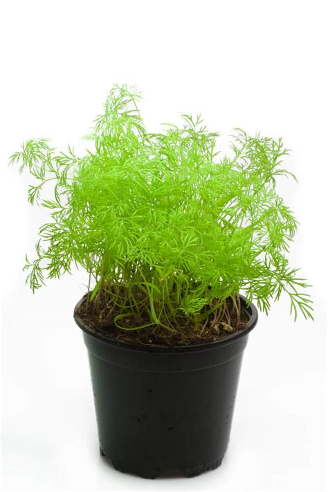 bureau veritas torcy grow dill in pot 28 images dill pod easy edible