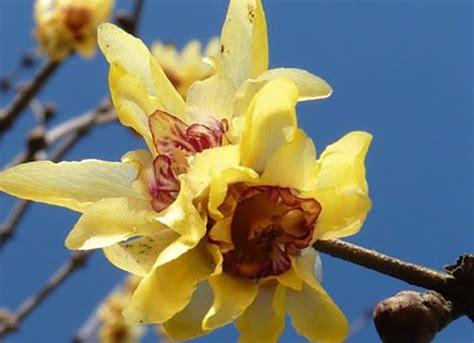 fiore calicanto calicanto benefici e controindicazioni
