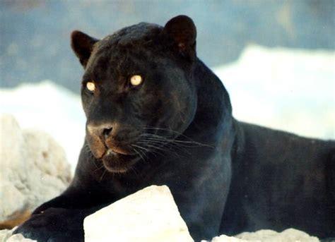 Black Jaguar by Black Jaguar Free Stock Photos Pictures In Stitches