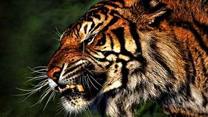 Baby Tiger Pictures wallpaper   2560x1600   #74455