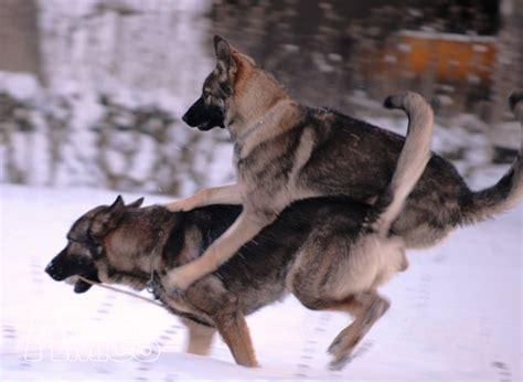 cerco in regalo cerco cucciolo pastore tedesco da privato a cani pastore