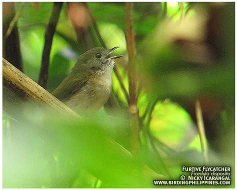 Furtive Flycatcher | | :: Birding Adventure Philippines ...