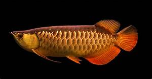 Temporary blog for Wan Hu, Arowana Division of Qian Hu ...