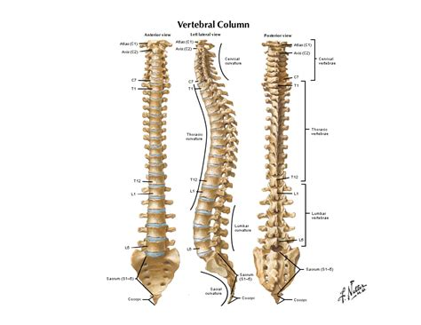 notes  anatomy  physiology  spinal column