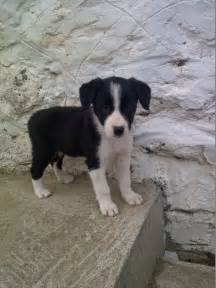 Black and White Puppy