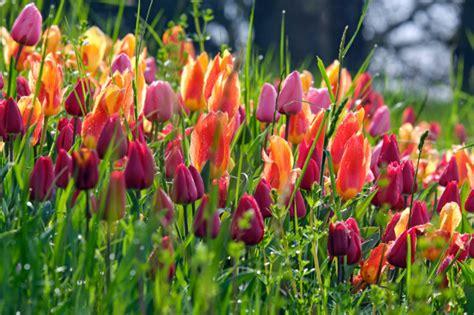 Paskat, cik skaisti Vācijā uzziedējušas tulpes! - Foto ...
