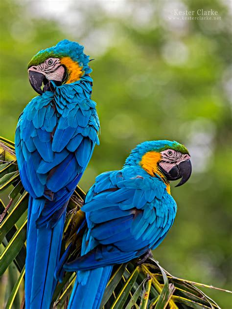 Blue-and-yellow Macaw - Kester Clarke Wildlife Photography