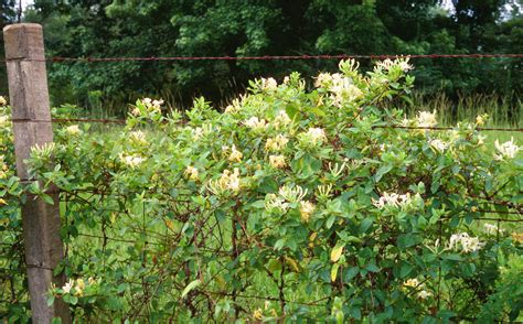 Escape Of The Invasives Top Six Invasive Plant Species In