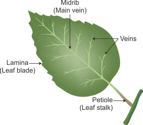 Leaf Part Diagram by I What Is A Leaf Ii Draw The Labeled Diagram Of A Leaf Iii