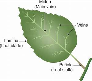 I What Is A Leaf Ii Draw The Labeled Diagram Of A Leaf Iii