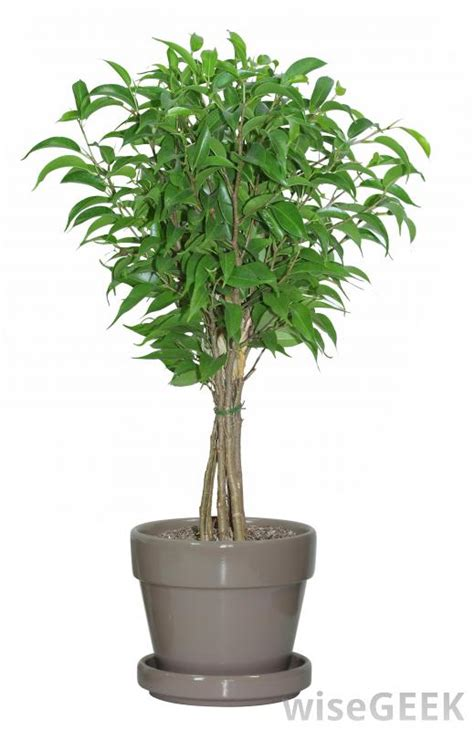 indoor tree what are some small trees i can pot and bring indoors