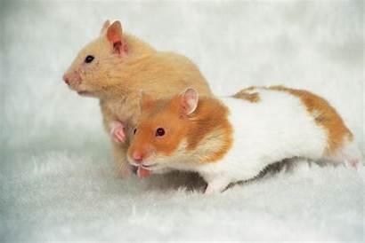 Hamster Hamsters Golden Side Animals Carpet Fluffy